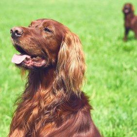 Airių seteris informacija, nuotraukos, charakteris, šunų vardai, šuniuko kaina, hipoalerginis: ne