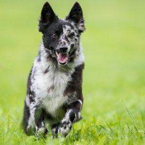 Mudis informacija, nuotraukos, charakteris, šunų vardai, šuniuko kaina, hipoalerginis: ne