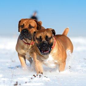 Boerboel informacija, nuotraukos, charakteris, šunų vardai, šuniuko kaina, hipoalerginis: ne