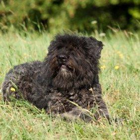 Flamandų Buvjė informacija, nuotraukos, charakteris, šunų vardai, šuniuko kaina, hipoalerginis: taip