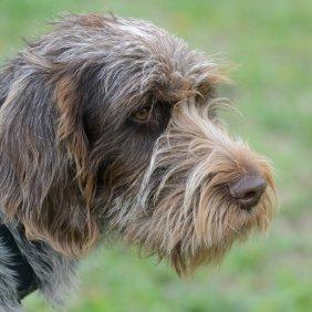 Čekų fausekas informacija, nuotraukos, charakteris, šunų vardai, šuniuko kaina, hipoalerginis: ne