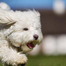Tulearo Bišonas informacija, nuotraukos, charakteris, šunų vardai, šuniuko kaina, hipoalerginis: taip