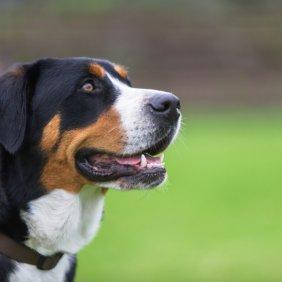 Didysis Šveicarų Zenenhundas informacija, nuotraukos, charakteris, šunų vardai, šuniuko kaina, hipoalerginis: ne