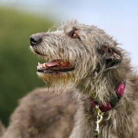 Airių vilkogaudis informacija, nuotraukos, charakteris, šunų vardai, šuniuko kaina, hipoalerginis: ne