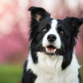 Borderkolis informacija, nuotraukos, charakteris, šunų vardai, šuniuko kaina, hipoalerginis: ne