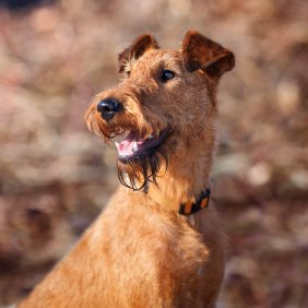 Airių terjeras informacija, nuotraukos, charakteris, šunų vardai, šuniuko kaina, hipoalerginis: taip