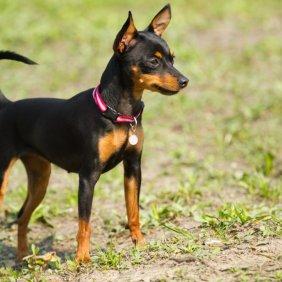 Prahos ratter informacija, nuotraukos, charakteris, šunų vardai, šuniuko kaina, hipoalerginis: ne