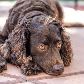 Amerikiečių vandens spanielis informacija, nuotraukos, charakteris, šunų vardai, šuniuko kaina, hipoalerginis: ne