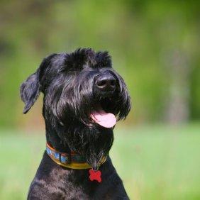 Ryzenšnauceris informacija, nuotraukos, charakteris, šunų vardai, šuniuko kaina, hipoalerginis: taip