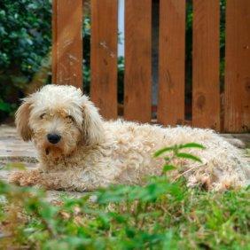 Vandėjos Vidutinysis Grifonas informacija, nuotraukos, charakteris, šunų vardai, šuniuko kaina, hipoalerginis: ne