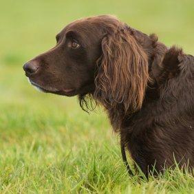 Vokiečių Langharas (Ilgaplaukis Pointeris) informacija, nuotraukos, charakteris, šunų vardai, šuniuko kaina, hipoalerginis: ne