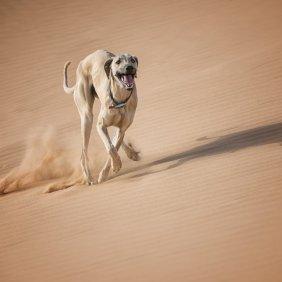 Slugis (arabų kurtas, sliugis) informacija, nuotraukos, charakteris, šunų vardai, šuniuko kaina, hipoalerginis: ne