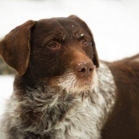 Vokiečių Dratharas (Šiurkščiaplaukis pointeris) informacija, nuotraukos, charakteris, šunų vardai, šuniuko kaina, hipoalerginis: ne
