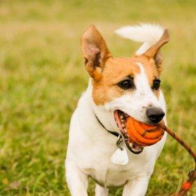 Džeko Raselo terjeras informacija, nuotraukos, charakteris, šunų vardai, šuniuko kaina, hipoalerginis: ne