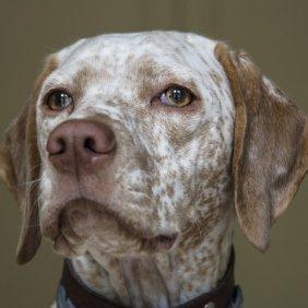 Burbonų Brakas informacija, nuotraukos, charakteris, šunų vardai, šuniuko kaina, hipoalerginis: ne