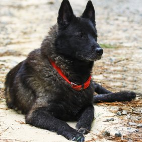 Norvegų juodasis elkhundas informacija, nuotraukos, charakteris, šunų vardai, šuniuko kaina, hipoalerginis: ne