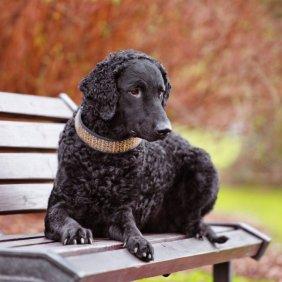 Garbanotasis retriveris informacija, nuotraukos, charakteris, šunų vardai, šuniuko kaina, hipoalerginis: ne