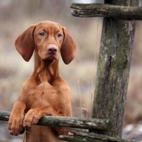 Vižlas (Vengrų trumpaplaukis pointeris) informacija, nuotraukos, charakteris, šunų vardai, šuniuko kaina, hipoalerginis: ne
