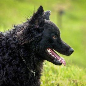 Kroatų aviganis informacija, nuotraukos, charakteris, šunų vardai, šuniuko kaina, hipoalerginis: ne