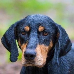 Transilvanijos skalikas informacija, nuotraukos, charakteris, šunų vardai, šuniuko kaina, hipoalerginis: ne