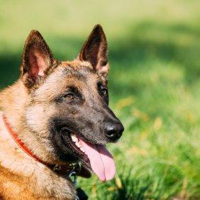 Belgų aviganis malinua informacija, nuotraukos, charakteris, šunų vardai, šuniuko kaina, hipoalerginis: ne