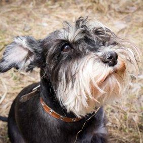 Cvergšnauceris informacija, nuotraukos, charakteris, šunų vardai, šuniuko kaina, hipoalerginis: taip