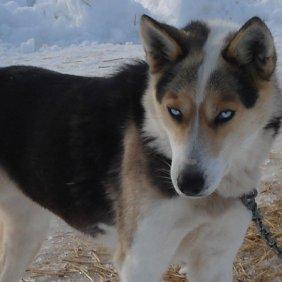 Seppala Sibiro Sleddog informacija, nuotraukos, charakteris, šunų vardai, šuniuko kaina, hipoalerginis: ne
