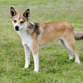 Norvegų lundehundas informacija, nuotraukos, charakteris, šunų vardai, šuniuko kaina, hipoalerginis: ne