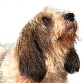 Vandėjos Mažasis grifonas basetas informacija, nuotraukos, charakteris, šunų vardai, šuniuko kaina, hipoalerginis: ne