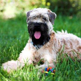 Kviečiaspalvis švelniaplaukis terjeras informacija, nuotraukos, charakteris, šunų vardai, šuniuko kaina, hipoalerginis: taip