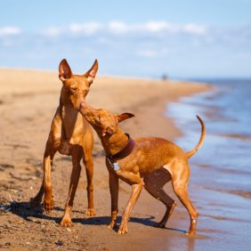 Etnos čirnekas informacija, nuotraukos, charakteris, šunų vardai, šuniuko kaina, hipoalerginis: ne