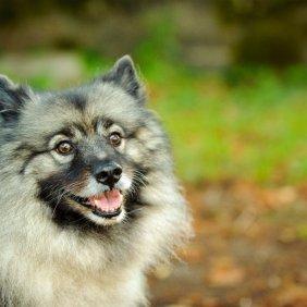 Volfšpicas (Vilkinis špicas) informacija, nuotraukos, charakteris, šunų vardai, šuniuko kaina, hipoalerginis: ne