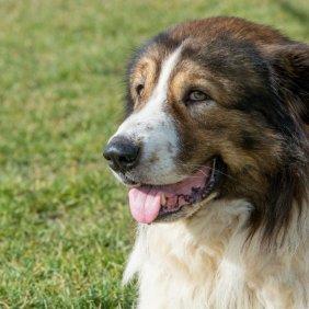 Bulgarijos aviganis (karakačanas) informacija, nuotraukos, charakteris, šunų vardai, šuniuko kaina, hipoalerginis: ne