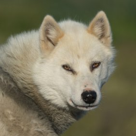 Grenlandijos šuo informacija, nuotraukos, charakteris, šunų vardai, šuniuko kaina, hipoalerginis: ne
