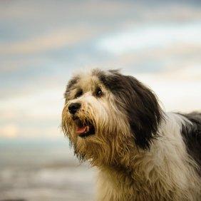 Lenkų žemumų aviganis informacija, nuotraukos, charakteris, šunų vardai, šuniuko kaina, hipoalerginis: taip