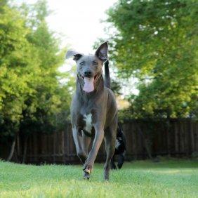 Blue Lacy informacija, nuotraukos, charakteris, šunų vardai, šuniuko kaina, hipoalerginis: ne