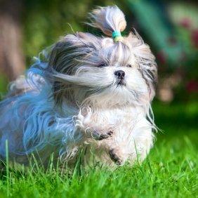 Ši Cu informacija, nuotraukos, charakteris, šunų vardai, šuniuko kaina, hipoalerginis: taip