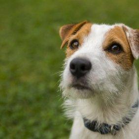 Parsono Raselo terjeras informacija, nuotraukos, charakteris, šunų vardai, šuniuko kaina, hipoalerginis: ne