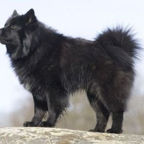 Švedijos laphundas (Švedų laphundas) informacija, nuotraukos, charakteris, šunų vardai, šuniuko kaina, hipoalerginis: ne