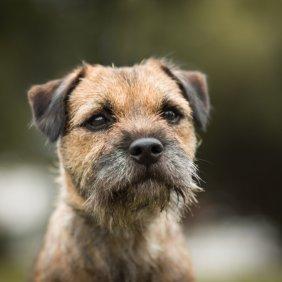 Border terjeras informacija, nuotraukos, charakteris, šunų vardai, šuniuko kaina, hipoalerginis: taip