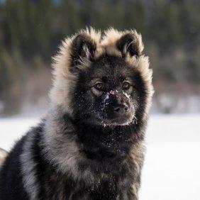 Eurazijos špicas informacija, nuotraukos, charakteris, šunų vardai, šuniuko kaina, hipoalerginis: ne