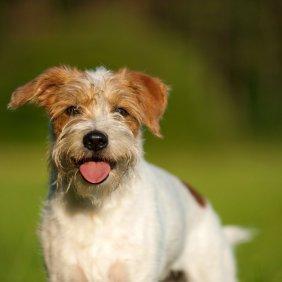 Kromforlenderis informacija, nuotraukos, charakteris, šunų vardai, šuniuko kaina, hipoalerginis: ne