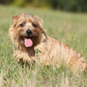 Norfolko terjeras informacija, nuotraukos, charakteris, šunų vardai, šuniuko kaina, hipoalerginis: taip