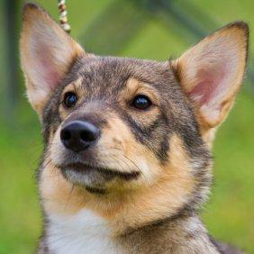 Švedijos valhundas informacija, nuotraukos, charakteris, šunų vardai, šuniuko kaina, hipoalerginis: ne