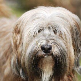 Tibeto terjeras informacija, nuotraukos, charakteris, šunų vardai, šuniuko kaina, hipoalerginis: taip