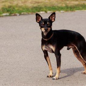 Mančesterio toiterjeras informacija, nuotraukos, charakteris, šunų vardai, šuniuko kaina, hipoalerginis: ne