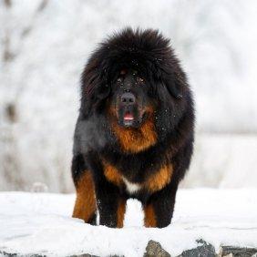 Tibeto mastifas (Do-Khyi) informacija, nuotraukos, charakteris, šunų vardai, šuniuko kaina, hipoalerginis: ne