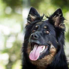 Bohemijos aviganis informacija, nuotraukos, charakteris, šunų vardai, šuniuko kaina, hipoalerginis: ne