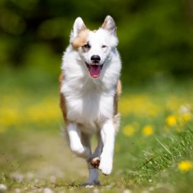 Islandijos aviganis informacija, nuotraukos, charakteris, šunų vardai, šuniuko kaina, hipoalerginis: ne