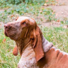Italų pointeris informacija, nuotraukos, charakteris, šunų vardai, šuniuko kaina, hipoalerginis: ne
